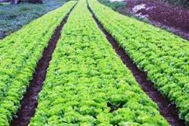 Trồng rau xà lách cuộn tại ruộng