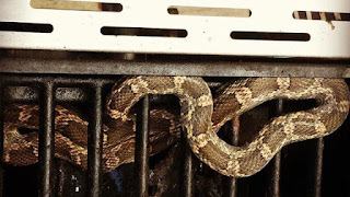 http://www.myfoxaustin.com/story/29591177/texas-rat-snake-found-in-bbq-pit
