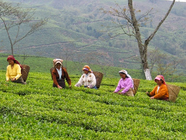 WB Government Proposes only a Hike of Rs 42.50 in Staggered Phase for Tea Garden Workers