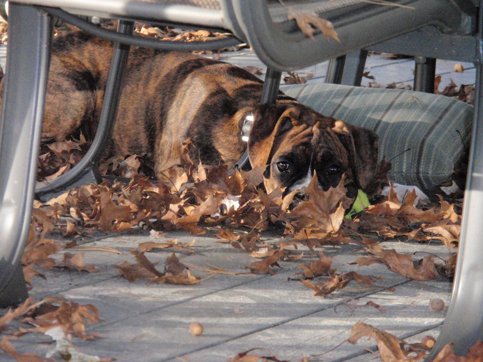 brindle fall leaves hiding
