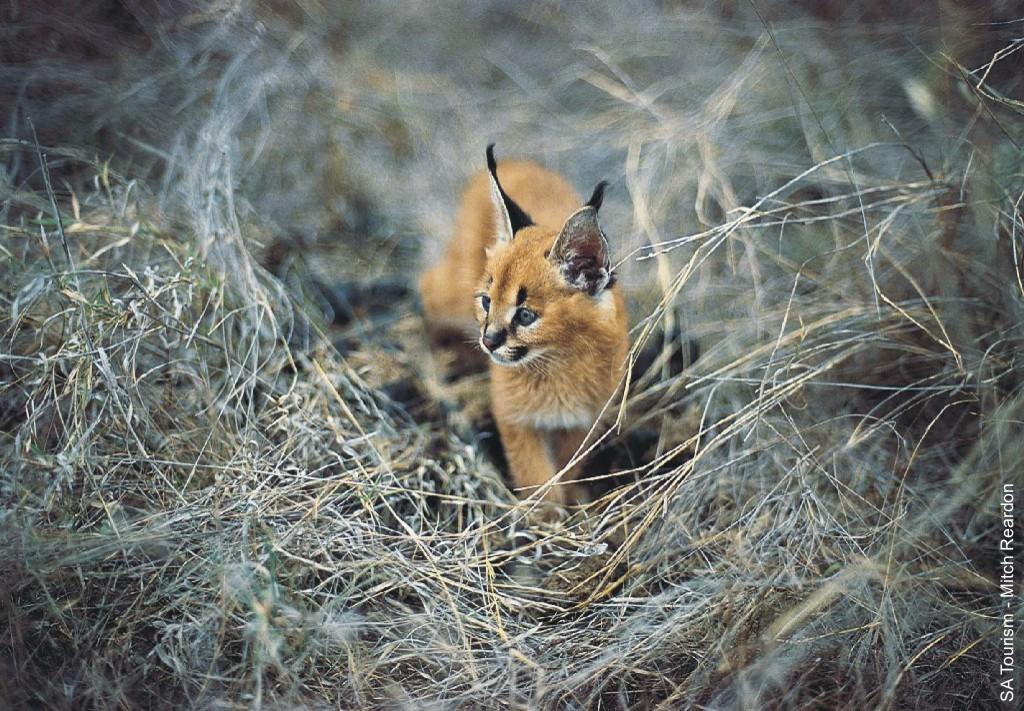 Caracal cat - photo#8