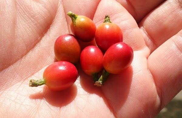 咖啡成熟漿果
