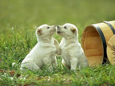 White Puppies