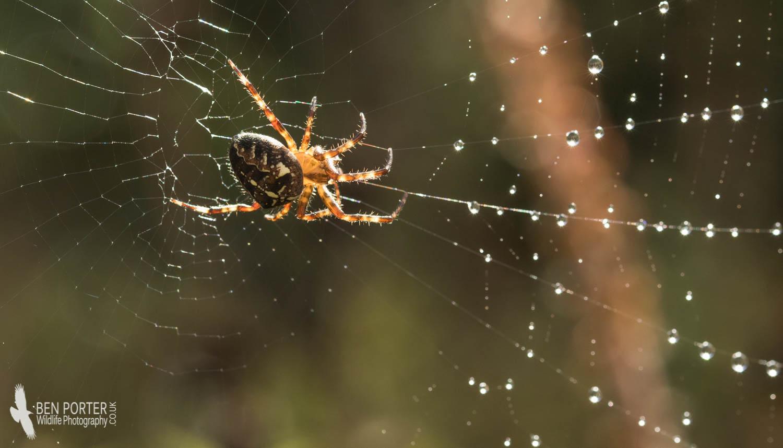 Ben Porter Wildlife Photography: Orb-weaving Spiders: nature\'s great ...