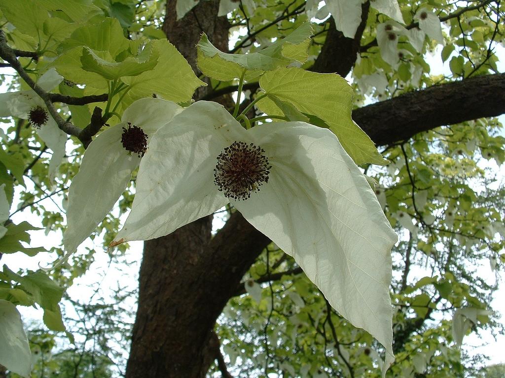 Davidia Flower Flickr Dandelion And Burdock