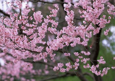 ></a><br><b>La Primavera</b> ha llegado y con ella miles de <b>hermosas flores</b>. Todas las estaciones del año tienen su encanto, pero creo que <b>la Primavera tiene algo tan especial</b> que se ha convertido por tanto en <b>una de nuestras estaciones preferidas.</b> <br><br>Hoy y a manera de tributo, deseo compartir con ustedes <b>20 fotografías de flores en colores que van del rosa, pasando por el fuschia y terminando en color blanco</b>. <br><br><b>20 imágenes de árboles cubiertos de pequeñas flores</b> que transmiten por el campo fragancias inolvidables.<br><br>Una combinación única de matices que da la vienvenida a esta temporada del año.<br><a href=