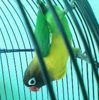 Burung Master isian