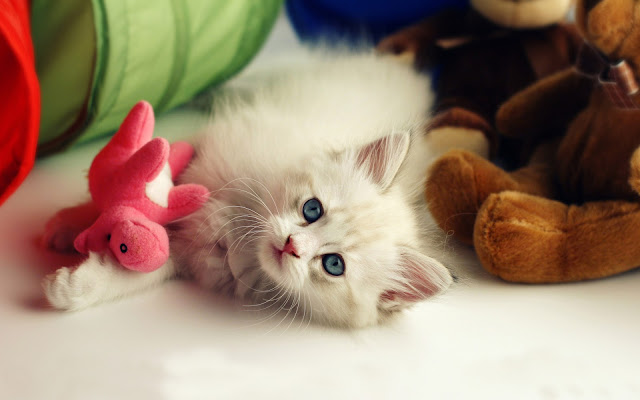 White Cat Playing With Her Toy