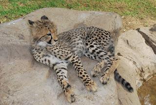 félin-guépard-bébé