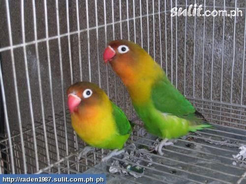 Beautiful African Love Birds 2