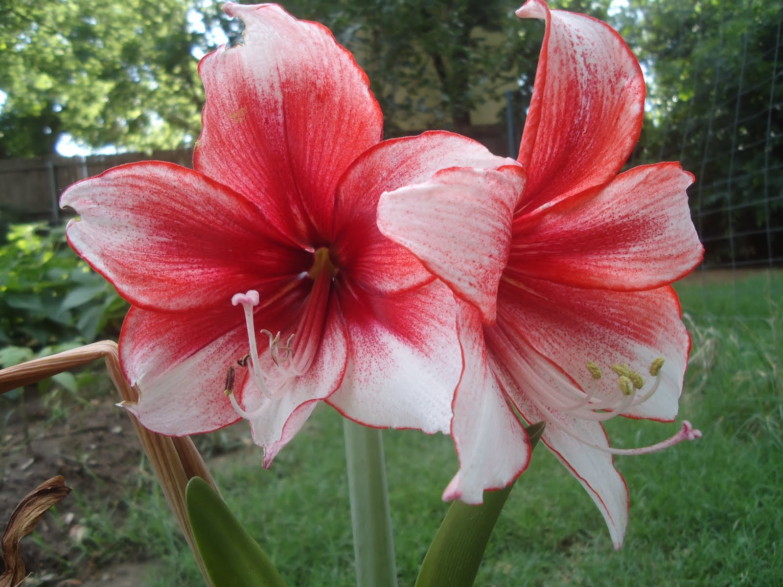 Joe and sandra 39 s hippies hippeastrum temptation for Hippeastrum royal red entretien