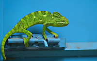 Macro Chameleon Picture and Photo 17