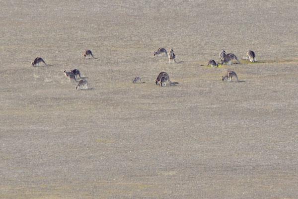 kangaroos in the plains