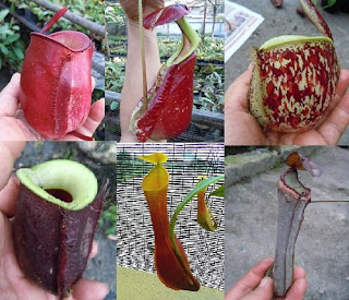 Nepenthes LOWLAND Mixed 50+ Seeds,WIDE VARIETIES !!!