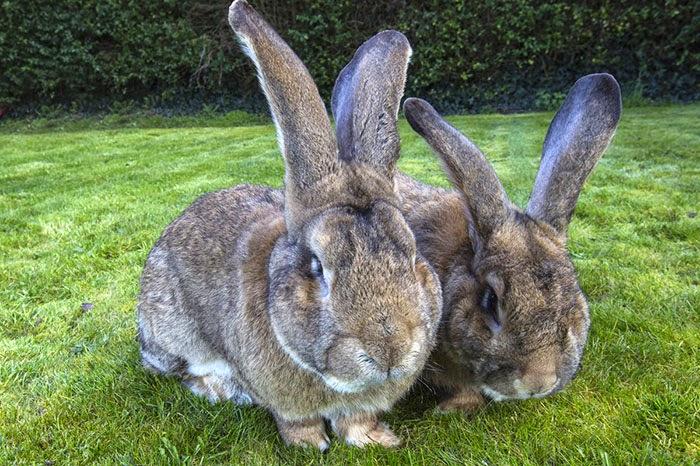 worlds biggest rabbit darius jeff-2