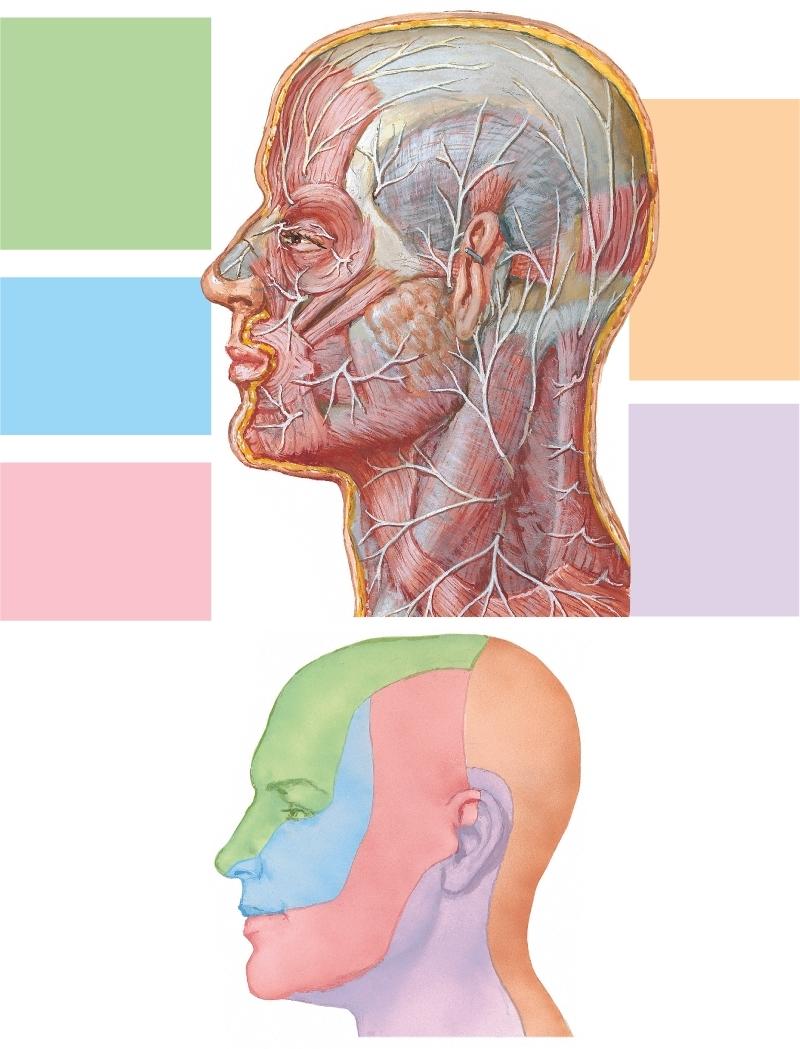 Nervios cutáneos de la cabeza y cuello | Netter Blog