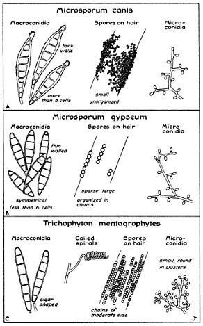 Grybelių mikroskopinė morfologija