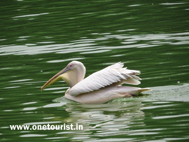 pelican images