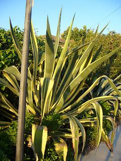 agave amarillo