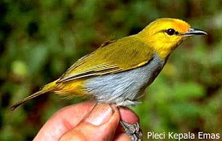 Burung Pleci Wallacea si Kepala Emas