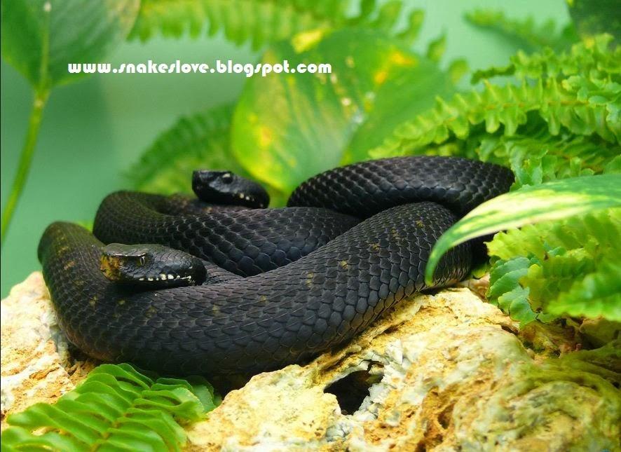 yellow mamba snake - photo #28