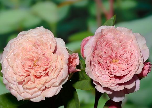 William Christie rose сорт розы фото