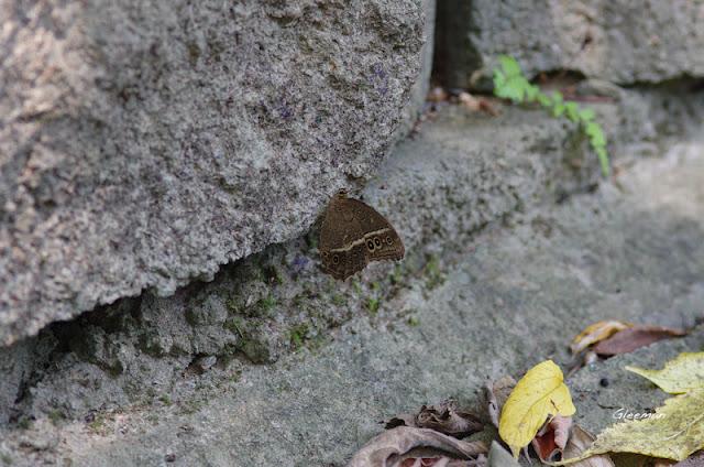 雞南山褐翅蔭眼蝶