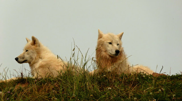 Arctic wolves, wolf, South Lakes, zoo, Dalton