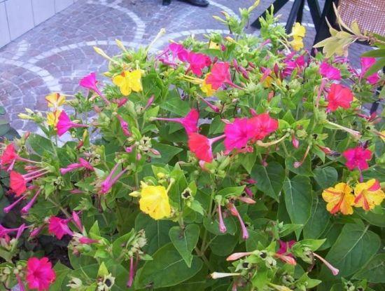 Manfaat dan Khasiat Bunga Pukul Empat