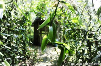 Budidaya Vanili: Masih Belum Serius