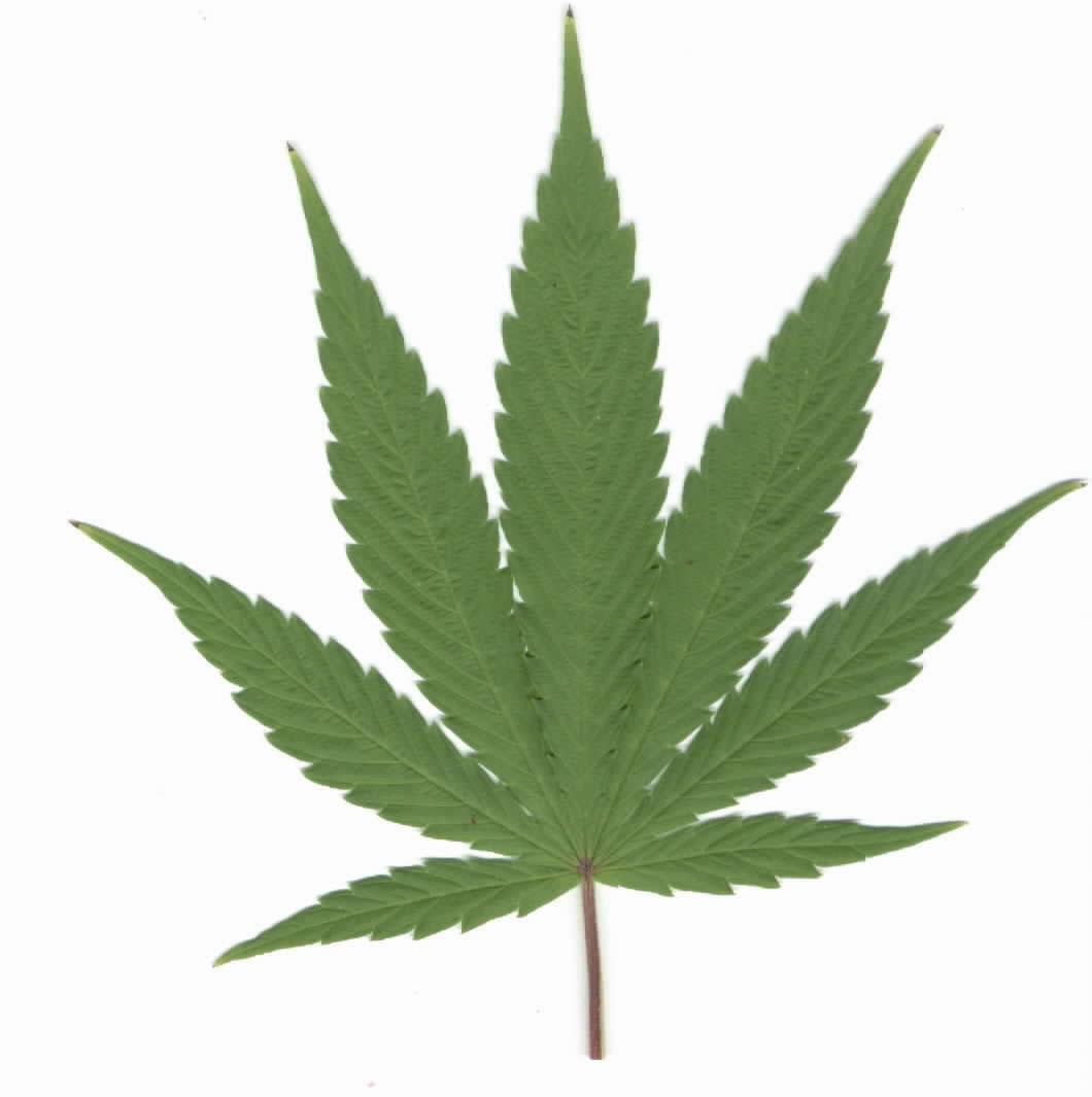 marijuana_leaf_pic.jpg