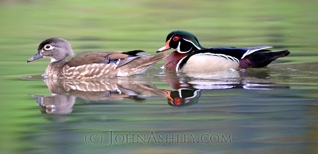 Wood Ducks in breeding plumage (c) John Ashhley