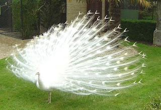 White-Peacock-Photos-Pictures-Images-Pics