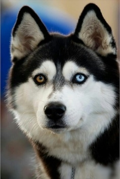 Why do some dogs have two different colored eyes?
