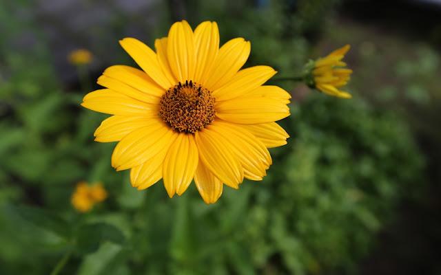 Flor Amarilla de Girasol Imágenes de Flores para San Valentin