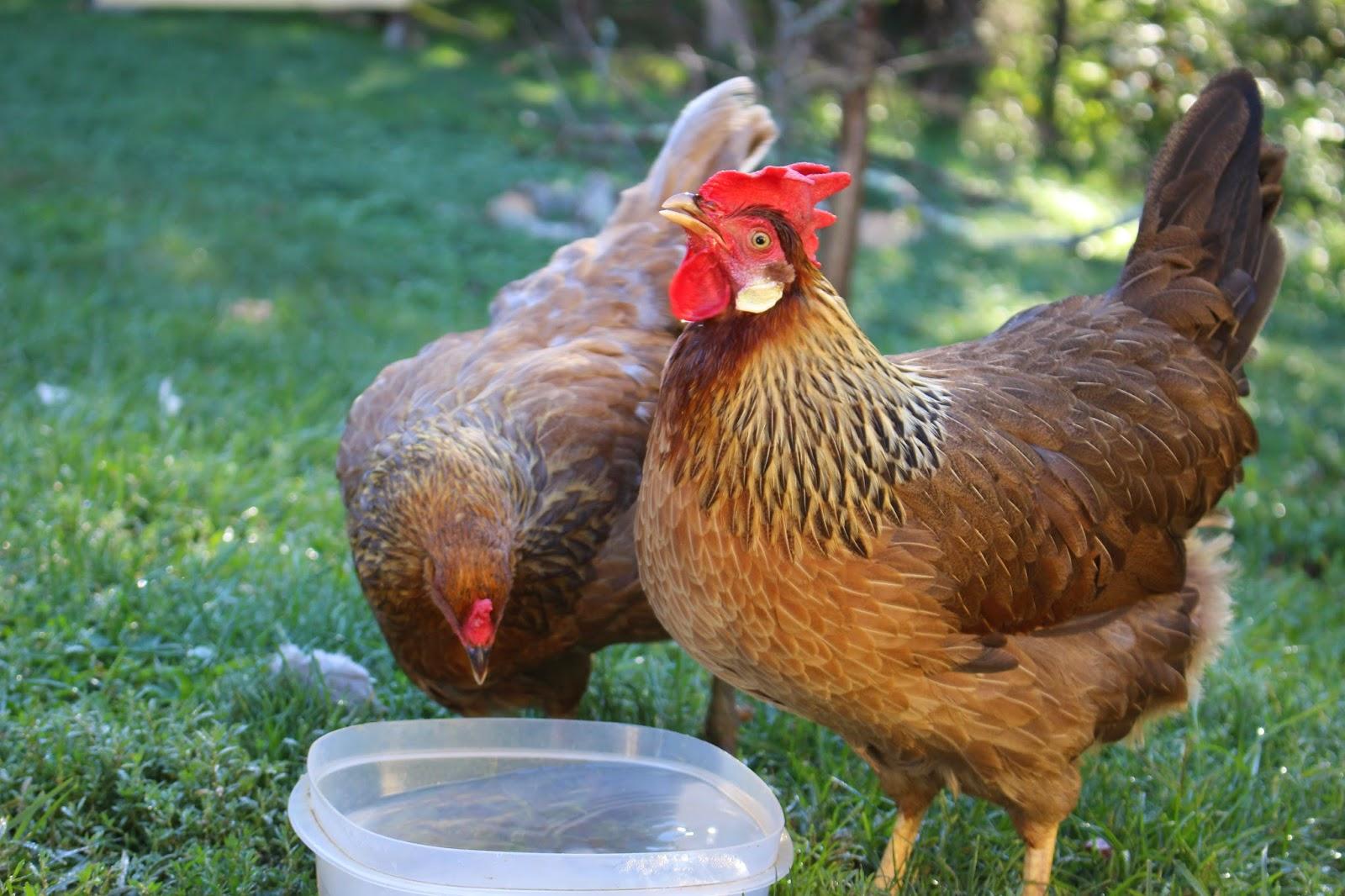 pam u0027s backyard chickens september 2014