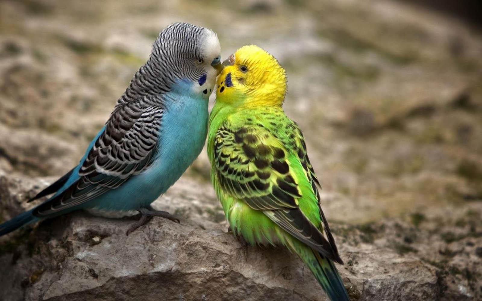 Tag  Love Birds Wallpa...