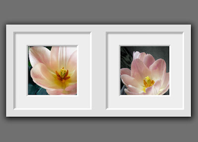 two different macro photos of a blushing pink spring tulip