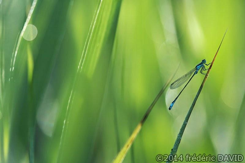 animaux insectes nature macro libellule demoiselle agrion marais Épisy Seine-et-Marne
