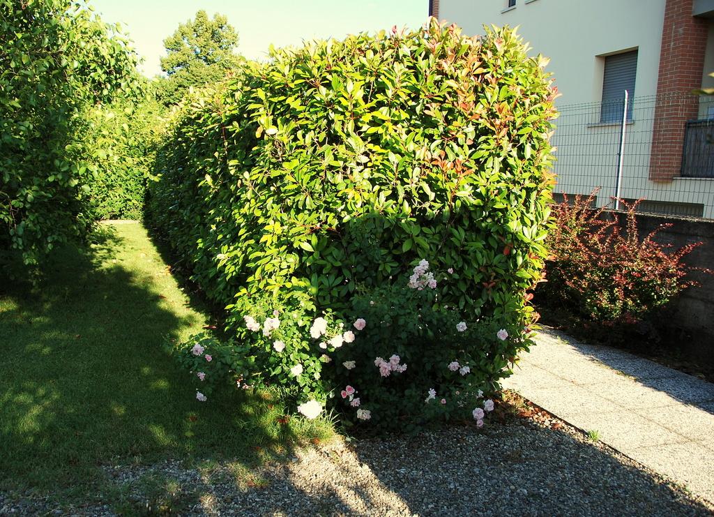 Il mondo in un giardino tutti pazzi per la siepe di for Pitosforo siepe