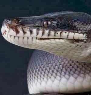 Vídeo mostra cobra píton gigante devorando crocodilo
