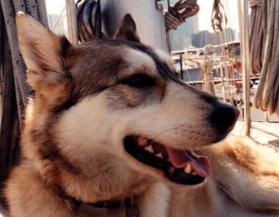 smiling tri-colour husky on sailboat deck