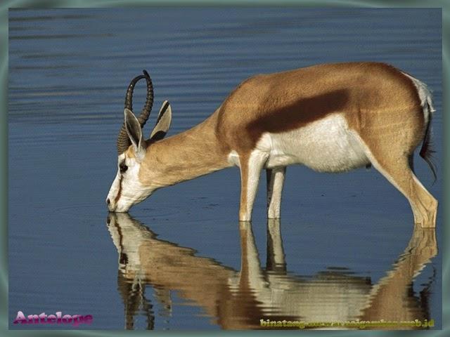 gambar antelope