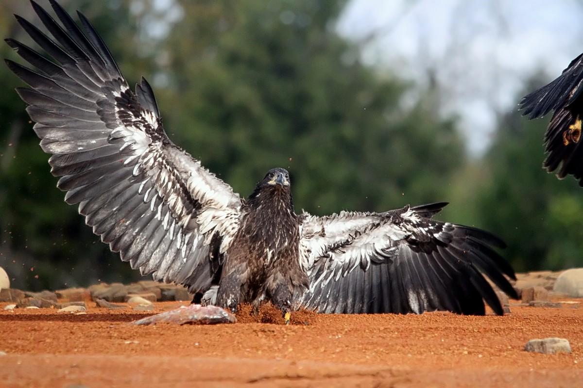 JUVANILE BALD EAGLE