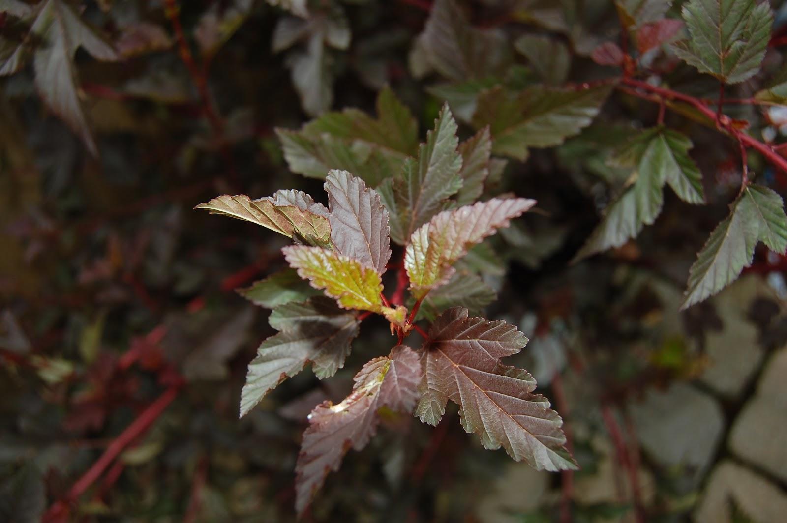Plant Inventory at 20 Timothy : Physocarpus opulifolius / Ninebark