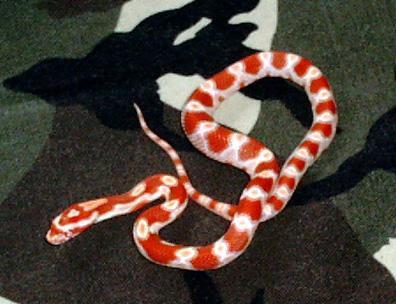 Corn Snake Large
