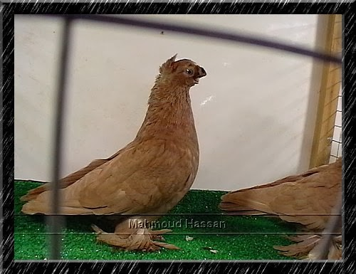 Uzbek pigeons for sale