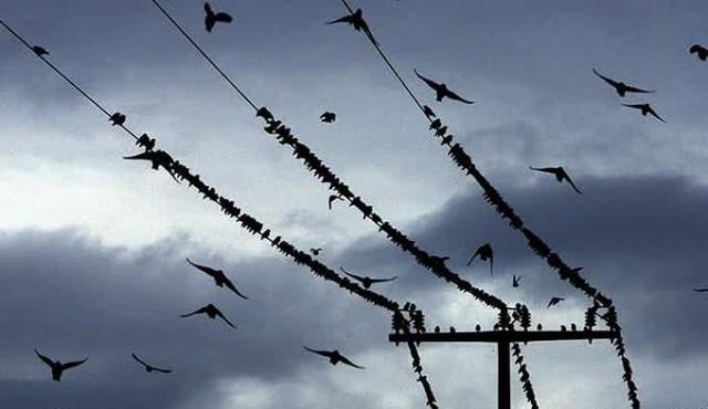 Mengapa Burung Tidak Mati Kesetrum Saat Bertengger di Kabel Listrik