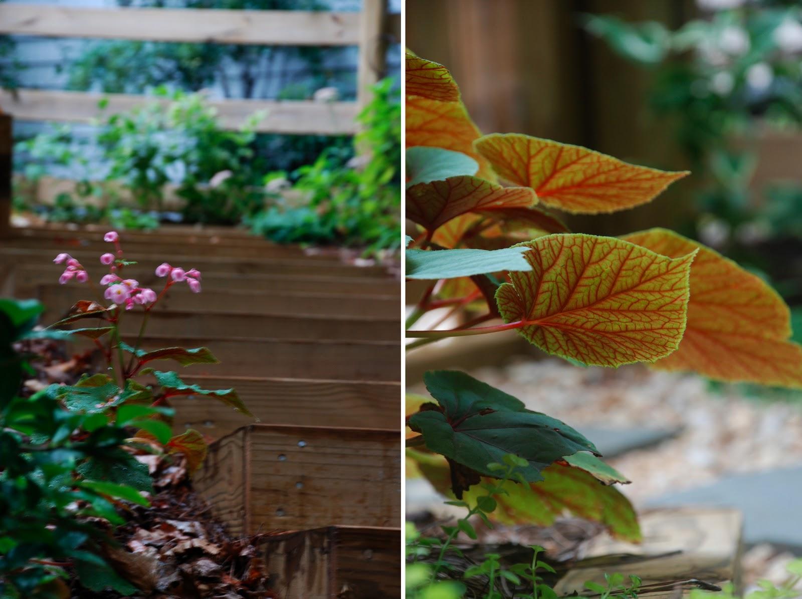 Perennial Begonia | the curtis casa