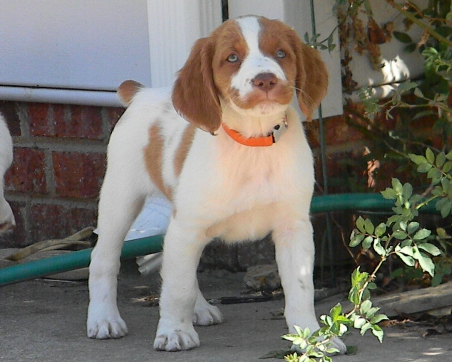 Brittany Dog Puppy picture wallpaper